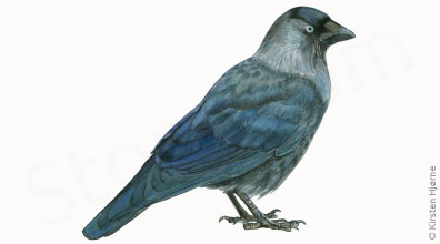 Allike - Corvus monedula - Jackdaw