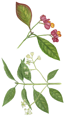 Benved - Euonymus europaeus - European Spindle, Common Spindle