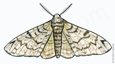Birkemåler - Biston betularia - Peppered Moth