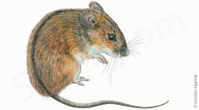 Brandmus - Apodemus agrarius - Striped Field Mouse