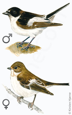 Broget fluesnapper - Pied Flycather - Muscicapa stiata
