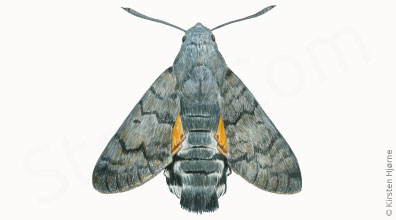 Duehale - Macroglossum stellatarum - Humming-bird Hawk-moth