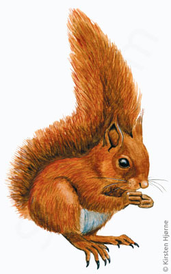 Egern - Sciurus vulgaris - Red squirrel