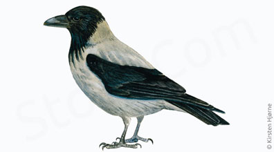 Gråkrage - Hotted crow - Corvus corone