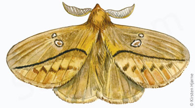 Græsspinder - Euthrix potatoria - Drinker