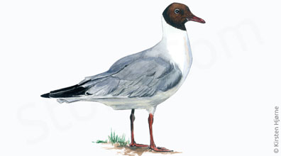 Hættemåge - Chroicocephalus ridibundus - Black-headed gull