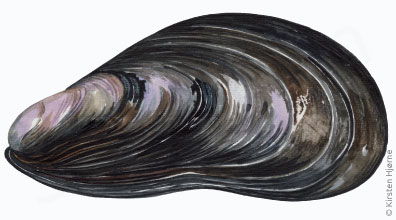 Hestemusling - Modiolus modiolus - Horse mussel