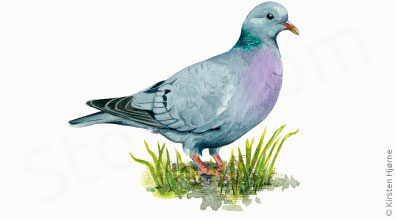 Huldue - Columba oenas - Stock Dove