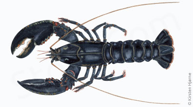 Hummer - Homarus gammarus - Common lobster