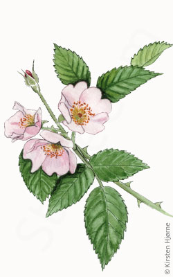 Hunderose - Rosa canina  - Dog rose