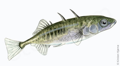 Hundestejle, trepigget - Gasterosteus aculeatus - Three-spined stickleback