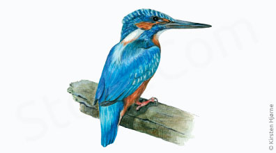 Isfugl - Alcedo atthis - Common kingfisher