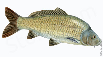Karpe - Cyprinus carpio - Common carp