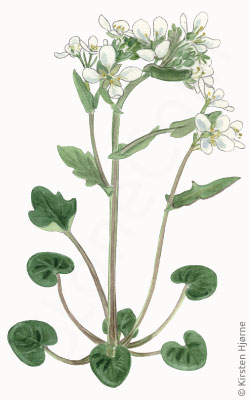 Lægekokleare - Cochlearia officinalis - Common scurvygrass
