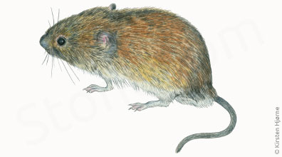 Nordmarkmus - Microtus agrestis - Field Vole
