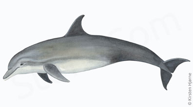 Øresvin - Tursiops truncatus - Bottle-nosed dolphin