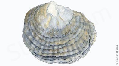 Østers - Ostrea edulis - Oyster