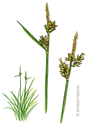 Pillestar - Carex pilulifera - Pill-headed Sedge