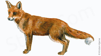 Ræv - Vulpes vulpes - Red fox