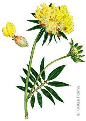 Rundbælg - Anthyllis vulneraria - Common Kidney Vetch