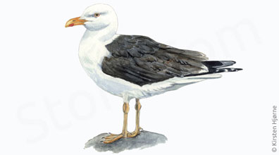Sildemåge - Larus fuscus - Lesser black-backed gull