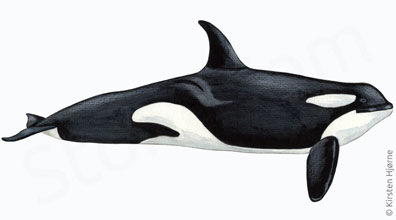 Spækhugger - Tursiops truncatus - Killer whale