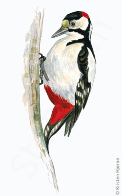 Stor flagspætte - Greater spotted woodpecker - Dendrocopos major