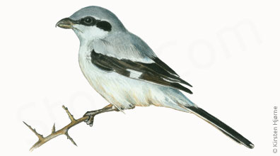 Stor tornskade - Lanius excubitor - Great Grey Shrike