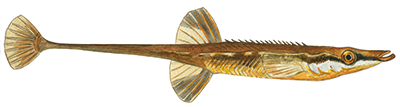 Tangsnarre - Spinachia spinachia - Fifteen-spined stickleback