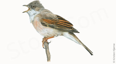 Tornsanger - Sylvia communis - Whirethroat