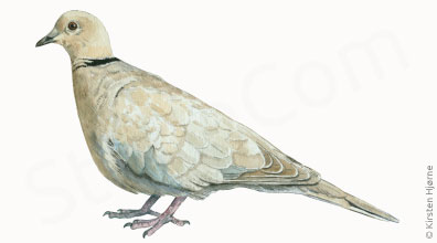 Tyrkerdue - Streptopelia decaocto - Collared Turtle-dove